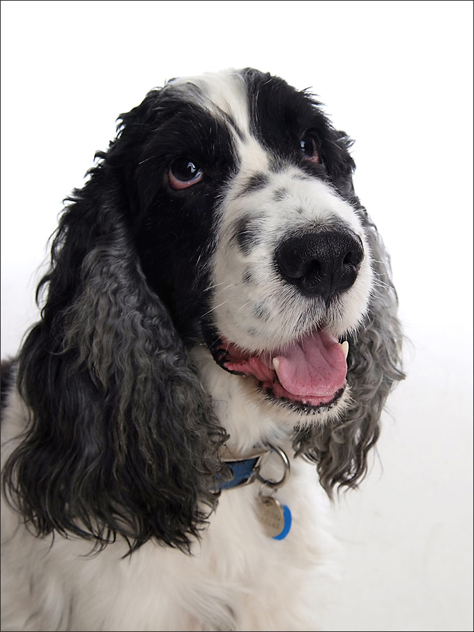 A lovely classic pet portrait of springer by Sammy Southall Photography