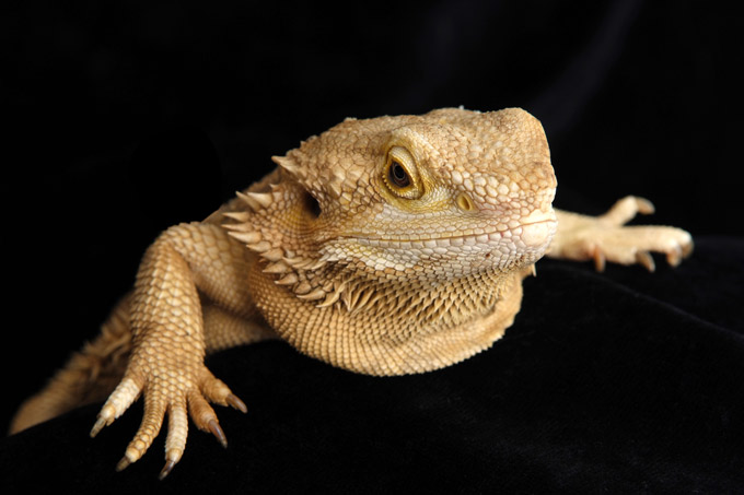 Bearded Dragon and Reptile pet photography by Sammy Southall
