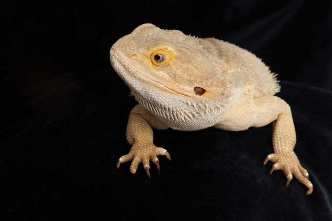 Bearded Dragon and Pet Reptile Photography by Sammy Southall Photography