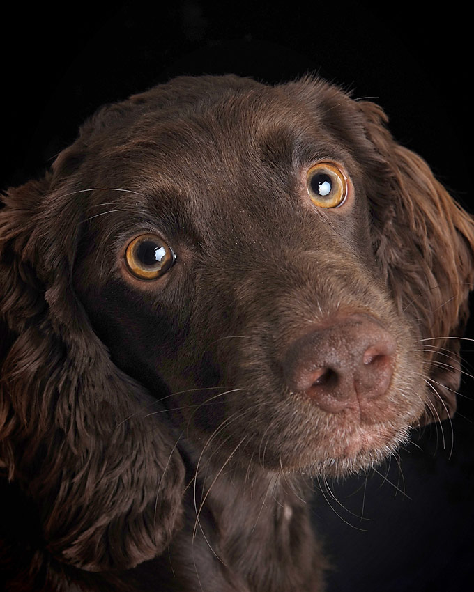 Vegas the dog with black velvet background